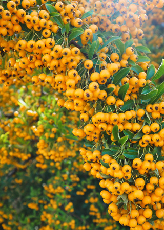 Pyracantha c. Solei d´or